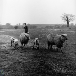 Sheep, Beverley